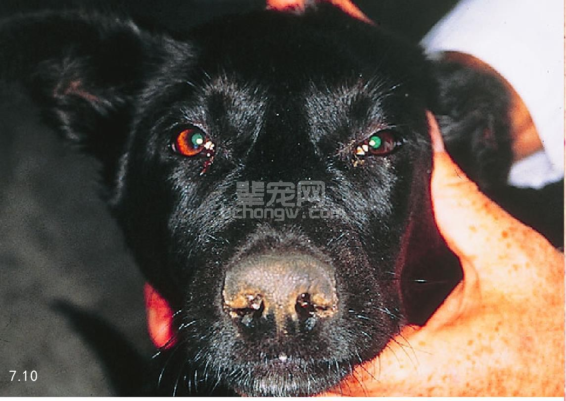 犬瘟热(CD)