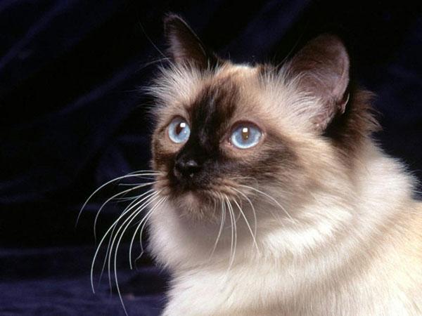 蓝眼白猫是什么品种图片