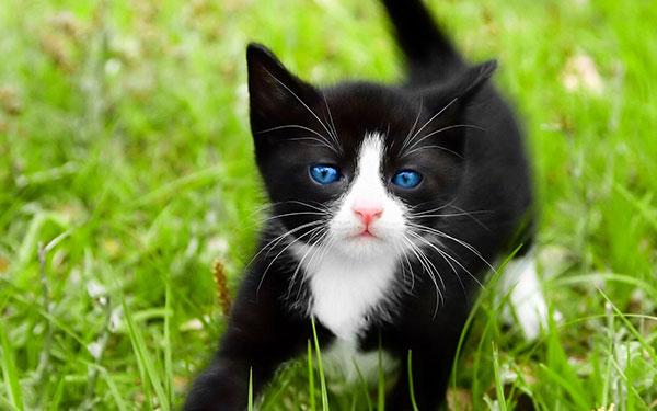 蓝眼白猫多少钱一只图片