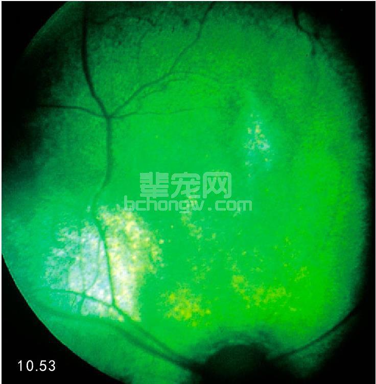 如何治疗猫视网膜炎症状图片