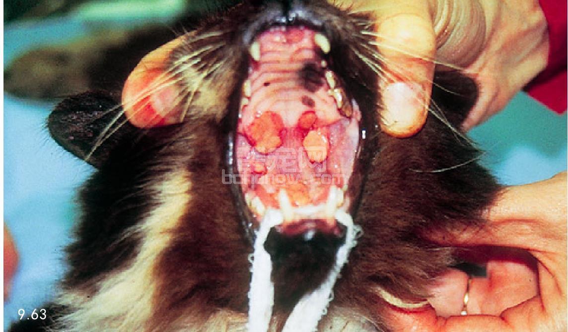 猫溶胶原性肉芽肿