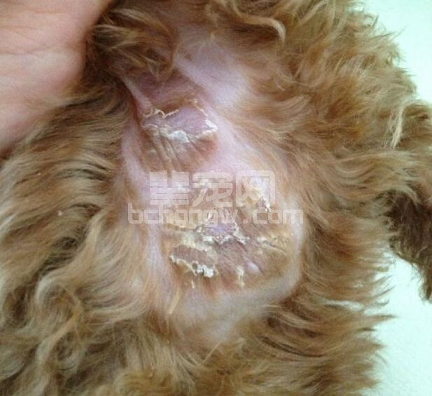 犬疱疹病毒