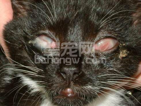 Ⅰ型猫疱疹病毒