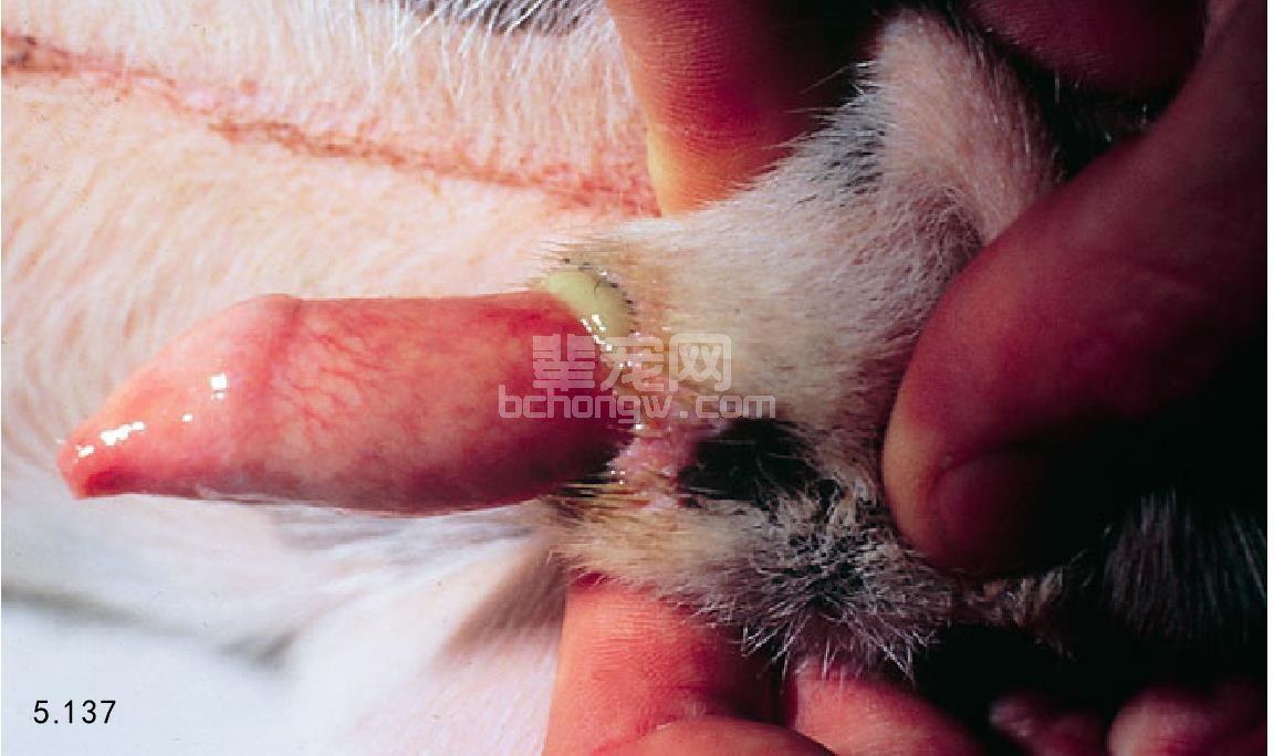 犬的龟头炎和包皮炎