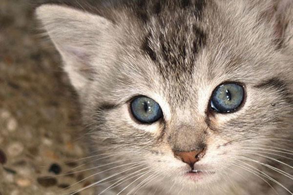 欧斯亚史烈斯猫