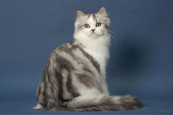 布履阑珊猫