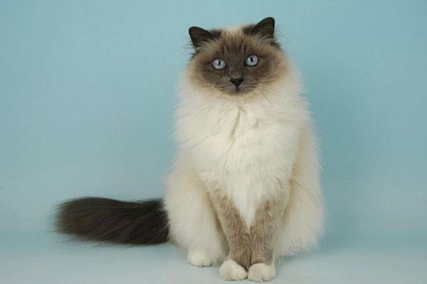 长毛暹罗猫