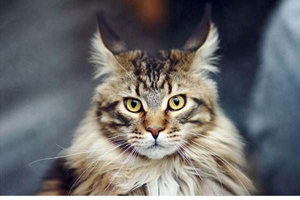缅因库恩猫