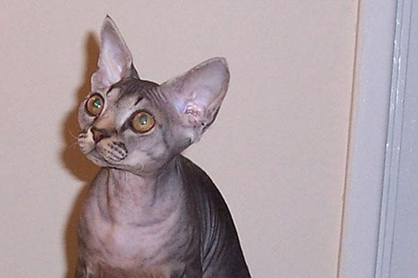 德文帝王猫