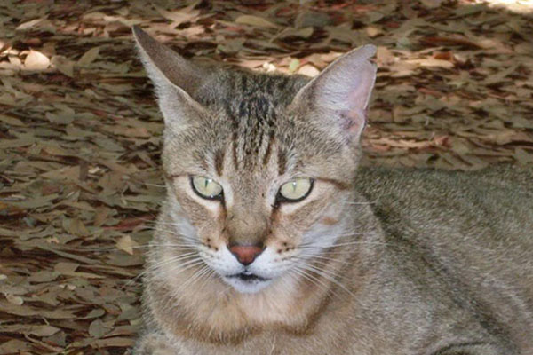 非洲短毛猫