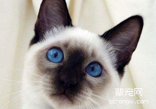 改善暹罗猫恶习,训练很重要