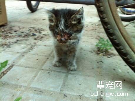 猫杯状病毒治疗费用图片