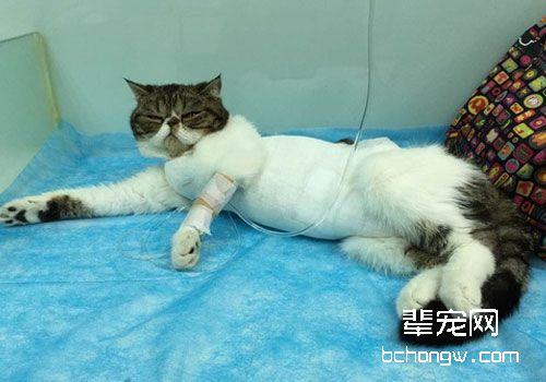 猫咪常见病的输液疗法_猫咪常见病的防治_猫咪病症大全