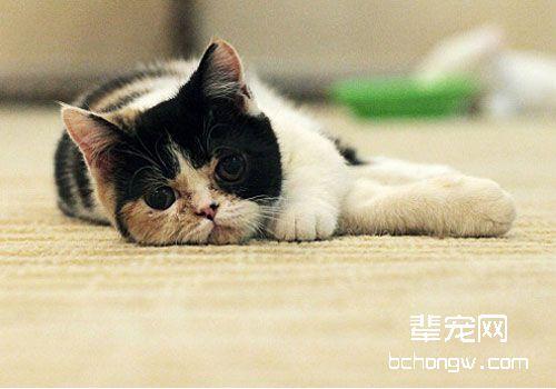 猫咪疼痛的表现(二)_猫咪疼痛时的表现_猫咪疼痛