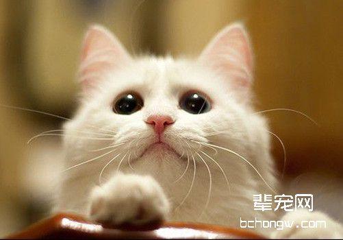猫咪下巴长粉刺了什么原因?消灭猫咪粉刺的方法