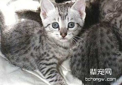 猫子宫内膜炎图片