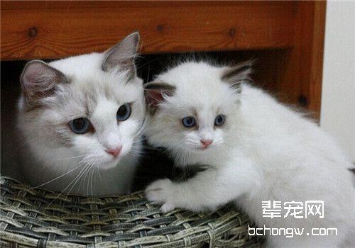 猫咪胸膜炎怎么治疗图片
