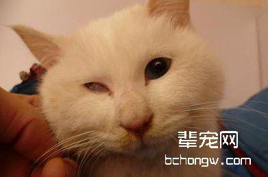 猫前庭综合症是什么病图片