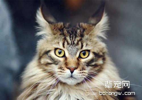 猫先天门静脉短路_猫咪门静脉短路吃什么_猫得了门静脉短路