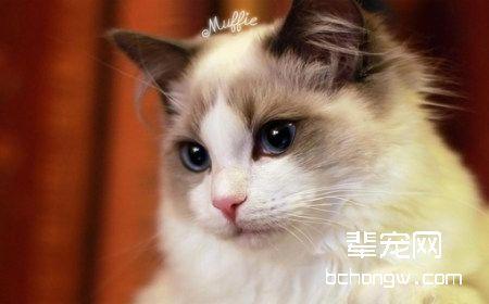 布偶猫常见疾病和预防措施