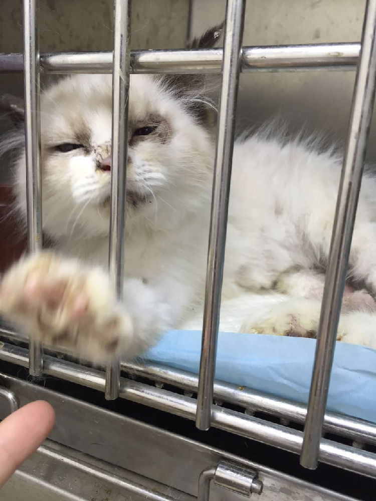 脱毛效果好的方法_宠物猫癣病的诊断与治疗-辈宠网