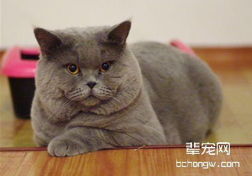 如何治疗及预防猫接触性皮肤炎