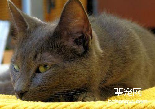 什么是猫抓病