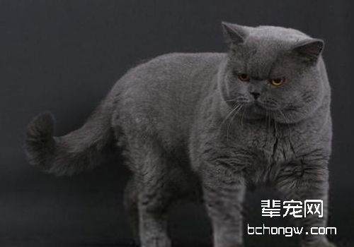 猫钱癣有哪些特征_猫癣怎么治疗_猫的癣