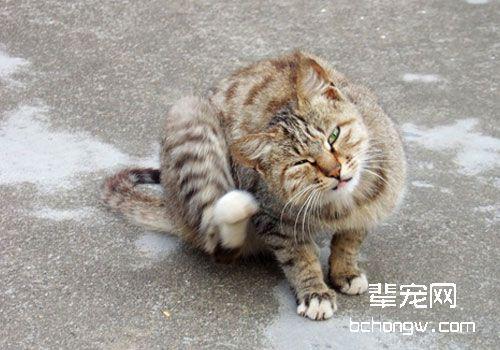 教你诊断猫咪呕吐原因图片