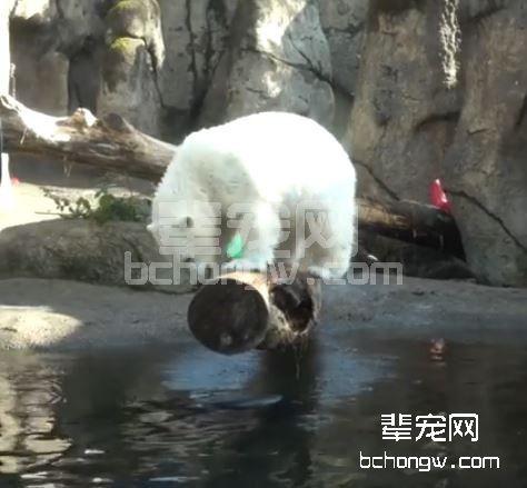 小北极熊弯腰捞水 脚滑摔挂