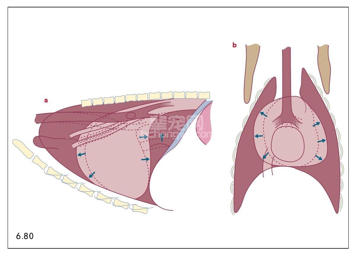 片:a. 犬的右侧胸片显示心脏肥大,左侧、右侧心脏肥大放射学症状图片