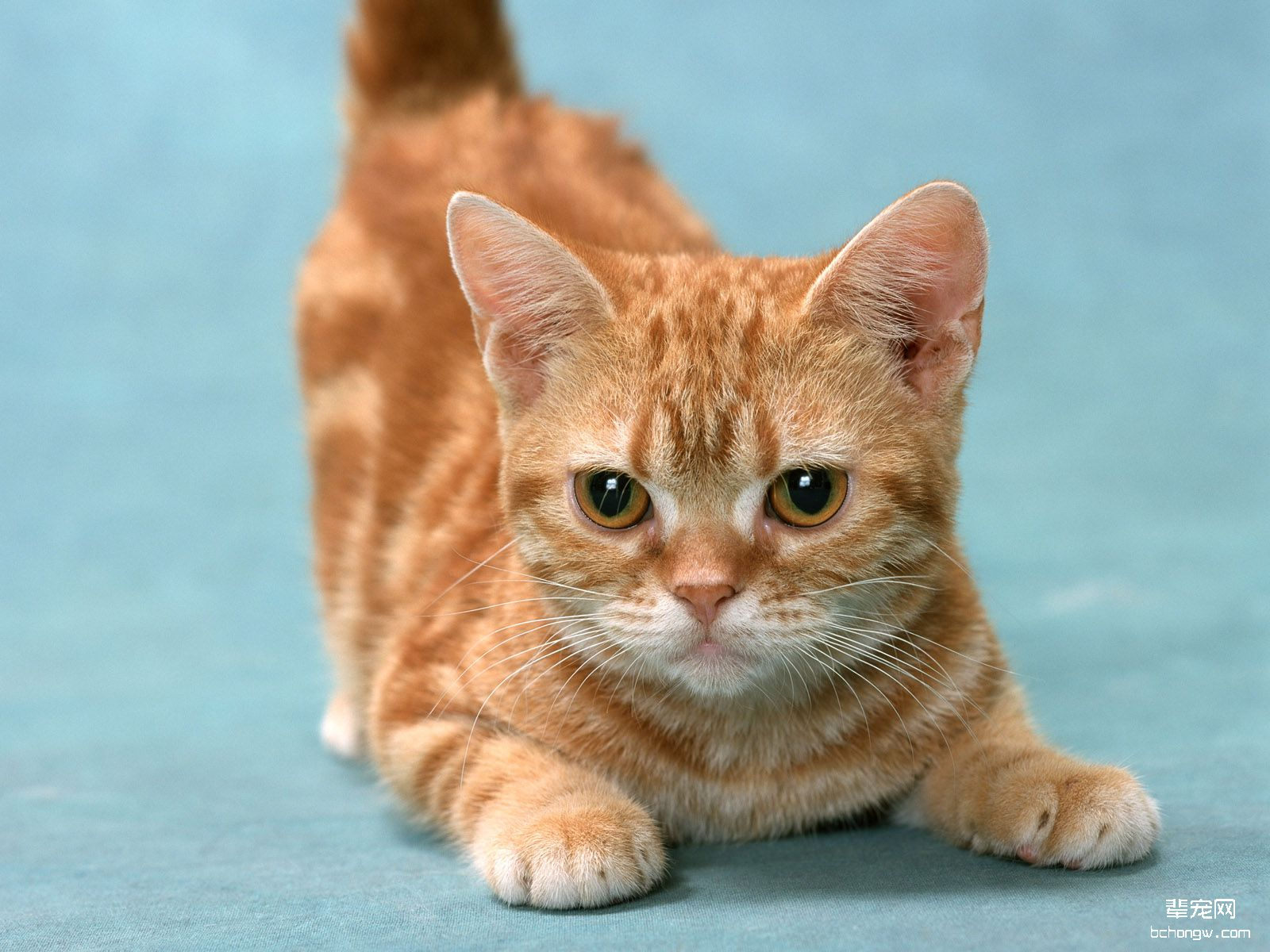 可爱小黄猫高清壁纸