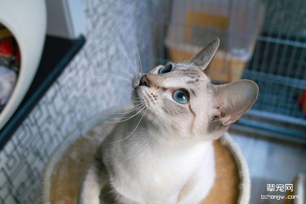 暹罗猫萌萌哒