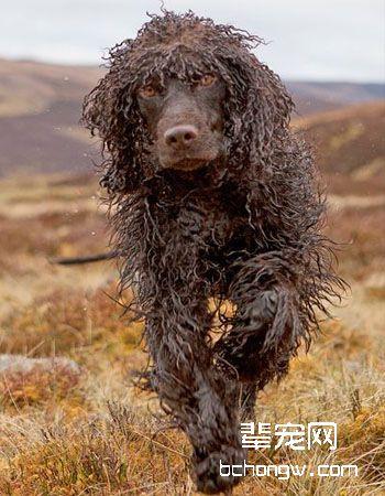 爱尔兰水猎犬