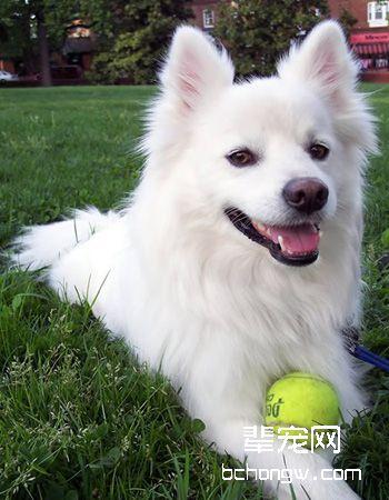 美国爱斯基摩犬