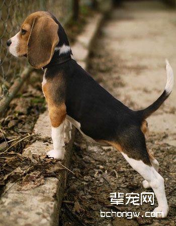 比格犬/猎兔犬