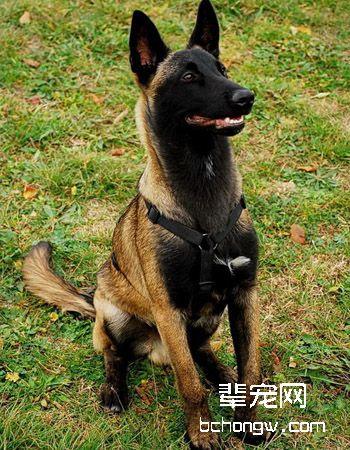 比利时玛利诺犬