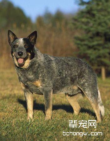 澳大利亚牧牛犬