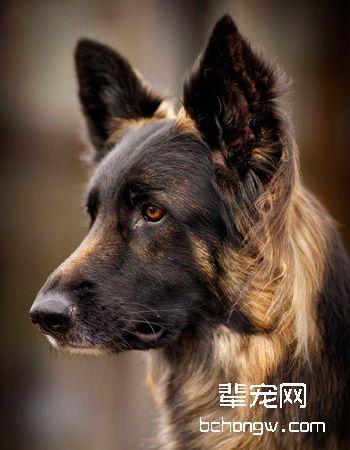 德牧/德国牧羊犬
