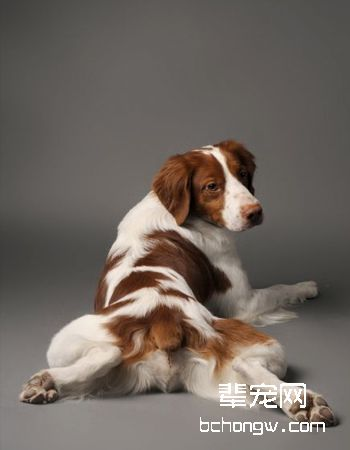 布里塔尼犬