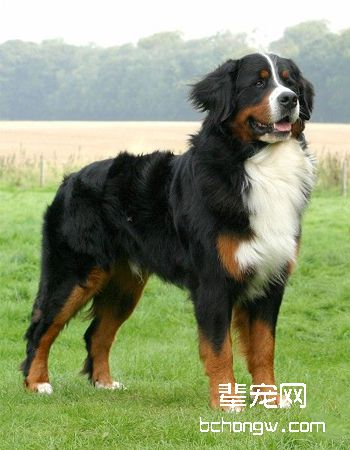 瑞士伯恩山犬