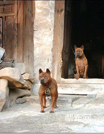 川东猎犬/重庆猎犬