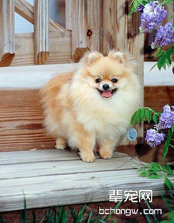 博美犬/松鼠犬