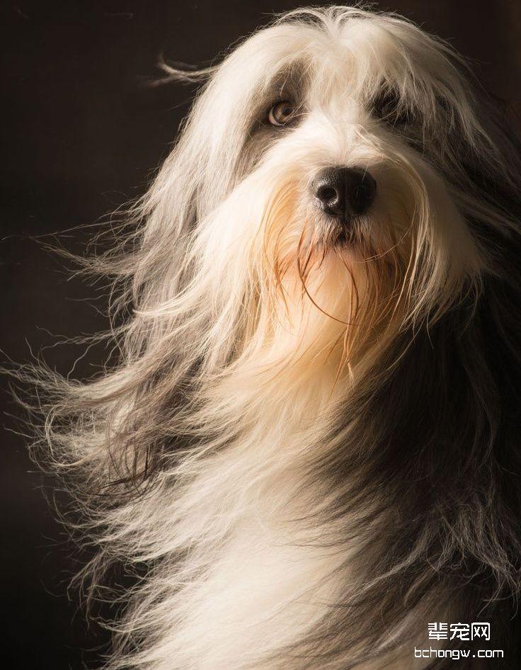 伯瑞犬/布里牧犬