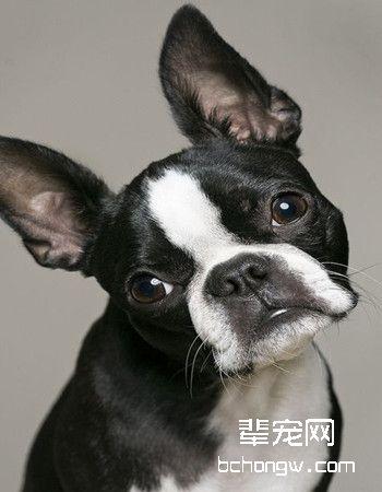 波士顿梗犬