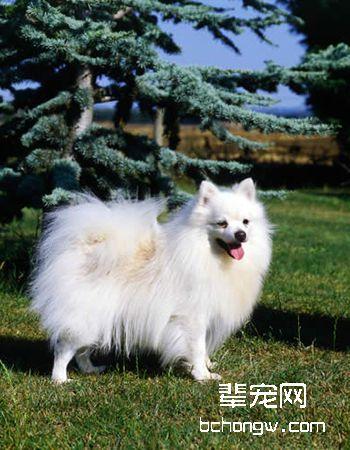 德国狐狸犬