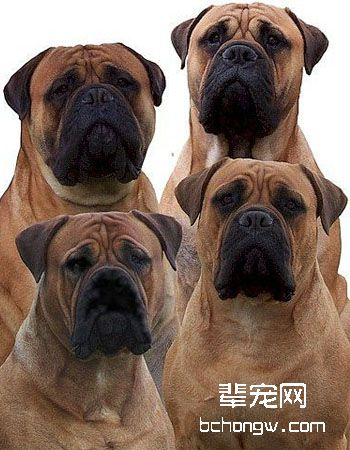 马氏提夫犬