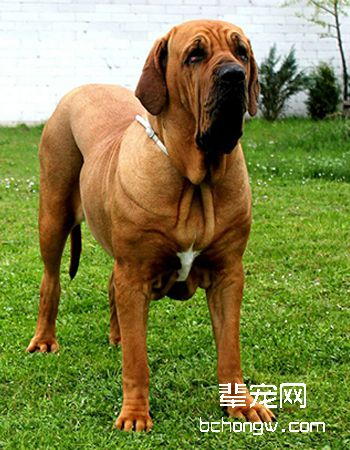 巴西菲勒犬