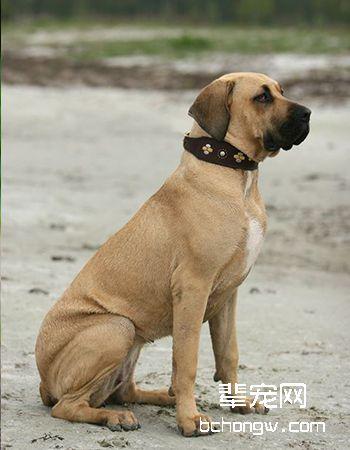 哈威那犬/哈瓦那犬