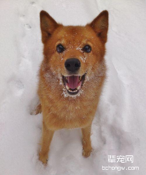 芬兰狐狸犬